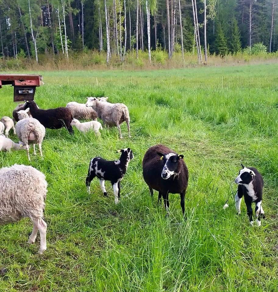 Fläckig finullstacka med sina lamm